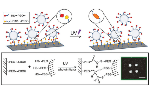 Capture of 2D Microparticle Arrays via a UV-Triggered Thiol-yne ``Click{''} Reaction
