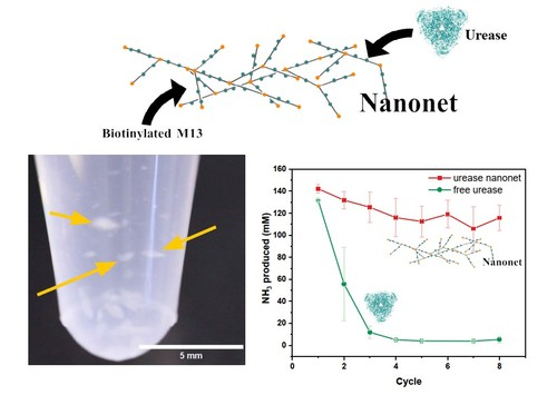 Genetically modified M13 bacteriophage nanonets for enzyme catalysis and recovery